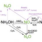 Nitrous oxide comammox